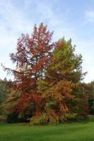 Herbststimmung im Kurpark - Sicheltanne (Cryptomeria japonica)