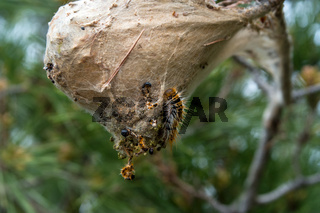 A hairy gypsy moth caterpillar crawls of a large woven nest hanging from a pine tree.