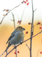 Pine grosbeak, Pinicola enucleator, female bird feeding on berries