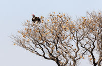 Red-headed vulture in a tree