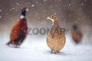 Three common pheasants, Phasianus colchicus. in winter during snowfall