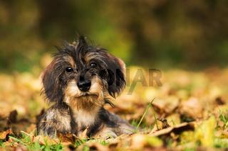 Dackel im Herbst