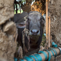 Face of Egyptian grey buffalo framed by window of clay stockyard in Egyptian farm