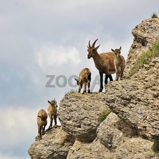 Alpine ibex kindergarten seen on Mount Niederhorn. Wild goat living in the Alps.