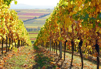 Weingebiet, Rebstock, Wein, Herbst