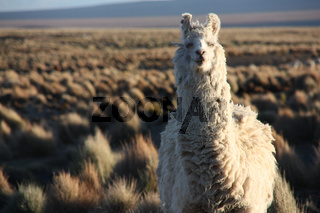 Portrait of a Lama looking into the lens in the Altiplano in Bolivia