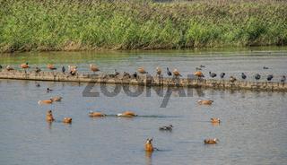 Wasservögel, überwiegend Rostgänse 'Tadorna ferruginea' am Bodensee