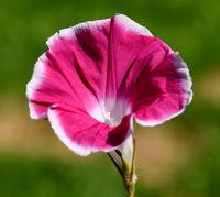 Trichterwinde, Ipomoea purpurea