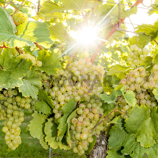 Reife Gelbe Weintrauben hängen im direkten Gegenlicht der Sonne am Strauch