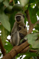 Vervet monkey mother holding baby on branch