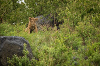 Lion cub staring in rocks and bushes