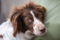 Young Springer Spaniel portrait