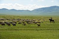 Gemischte Herde aus Schafen und Kaschmir Ziegen grast in der Steppe, Mongolei