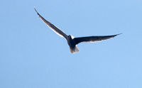 Seagull in flight against the sky