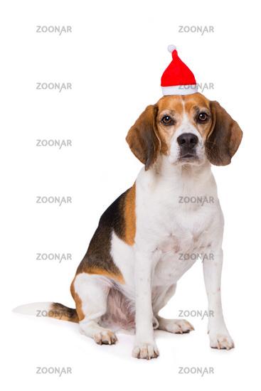 Adult beagle dog isolated on white background