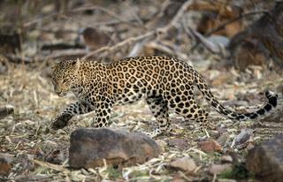 Leopard at Tadoba, Chandrapur, Maharashtra, India.