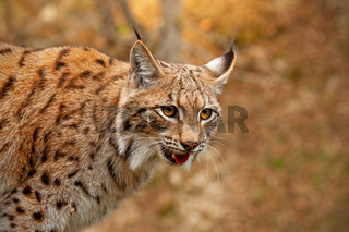 Detailed close-up of adult Eurasian lynx in autumn forest