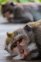 One pouting monkey gives another the silent treatment