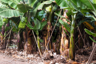 Banana plantation in Tenerife, Canary islands, Spain.