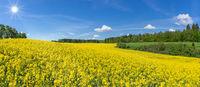 Geschwungenes, hügeliges, blühendes Rapsfeld im Sonnenschein