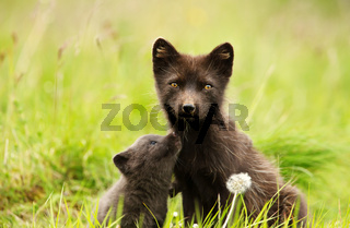 Arctic fox female with a cute little cub
