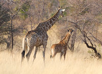 Adult giraffe with a young, in Namibia