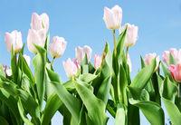 Frühling, Ostern, Tulpen, Himmel, Textraum