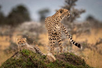 Cheetah stands with cub on grassy mound