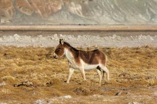 Tibetan Wild Ass, Equus kiang, Hanle, Jammu Kashmir