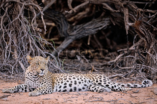 Leopard, Kgalagadi-Transfrontier-Nationalpark, Südafrika, (Panthera pardus)   Leopard, Kgalagadi Transfrontier National Park, South Africa, (Panthera pardus)
