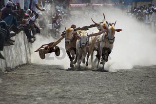 MAHARASHTRA, INDIA, April 2014, People enjoy traditional Bullock cart racing or bailgada sharyat