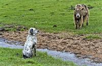 Wachhund und Yak beobachten sich auf einer Weide, Gorchi-Tereldsch-Nationalpark, Mongolia