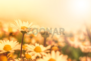 Beautiful daisy flower on wild field in sunset light. Soft focus nature background. Delicate pastel toned image. Greeting card template. Nature background. Copy space
