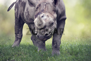 black rhinoceros potrait