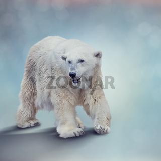 Large Polar bear walking