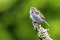 Haussperling fluegger Jungvogel / Passer domesticus