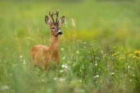 Elegant roe deer standing on a blooming meadow with flower in summer