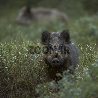 Neugierde... Wildschwein * Sus scrofa *, Überläufer im Unterholz