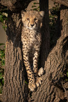 Cheetah cub stands in branches facing camera