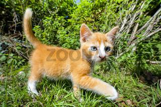 Orange kitten walking in a green garden