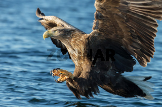 White-tailed sea Eagle in flight with the powerful claws catching a fish