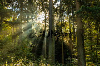 Sunrays through the green trees of the forest