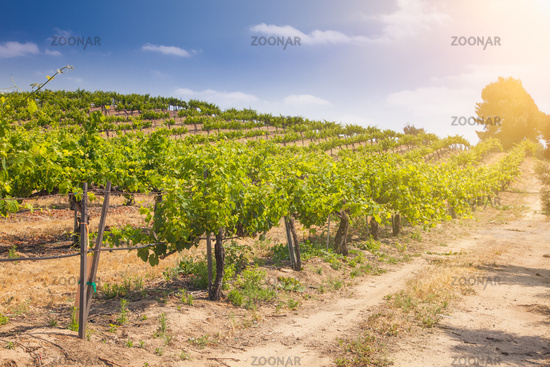 Beautiful Wine Grape Vineyard Farm in the Afternoon Sun.
