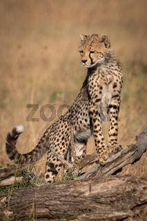 Cheetah cub standing on log looking down