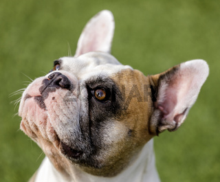 Multicolored French Bulldog female looking up with begging face.