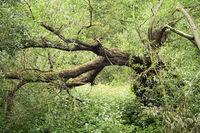 broken willow