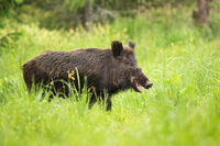 Smiling wild boar chewing with mouth open on pasture in nature.