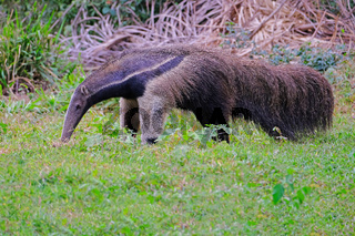 Giant Anteater, Myrmecophaga Tridactyla, also known as the Ant Bear, Matto Grosso Do Sul, Pantanal, Brazil