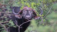 Afrikanischer Büffel