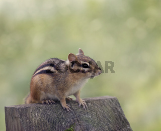 Chipmank perching on a wood